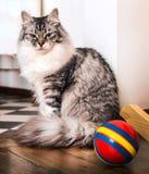 Den gråa katten sitter närliggande till en röd boll Royaltyfri Bild