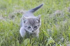 Den gråa kattungen går på gräset royaltyfria foton