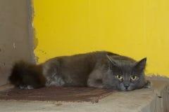 Den gråa kattungen, katten på ugnen ligger Royaltyfri Bild