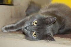 Den gråa kattungen, katten på ugnen ligger Fotografering för Bildbyråer
