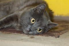 Den gråa kattungen, katten på ugnen ligger Royaltyfri Foto