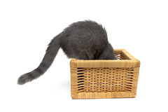 Den gråa kattungen klättrar in i den vide- korgen Royaltyfri Bild