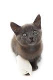 Den gråa kattungen med en förbinda på dess tafsar Royaltyfri Foto