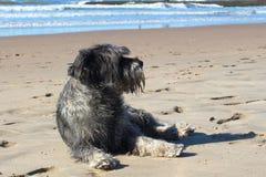 Den gråa liggande hunden på den sandiga stranden av havskusten 2 Royaltyfria Bilder