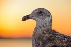 Den gråa seagullen håller ögonen på mig arkivbild