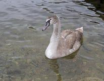Den gråa svanen som svävar på vatten Arkivbild