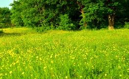 Den gröna ängen med guling blommar på skogbakgrund royaltyfri foto