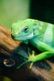 Den gröna ödlan, Fiji satte band leguanen Royaltyfri Fotografi