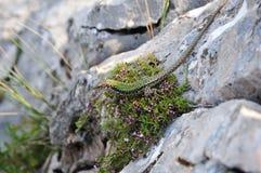 Den gröna ödlan på vaggar arkivfoto