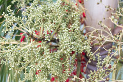 Den gröna Arecamuttern från Areca gömma i handflatan medelskottet Royaltyfri Bild