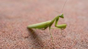 Den gröna bönsyrsan gick för en gå fotografering för bildbyråer