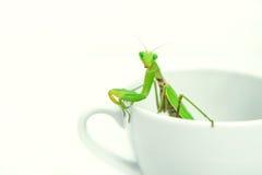 Den gröna bönsyrsan poserar på en vit porslinkopp, slut upp, selec Arkivfoton