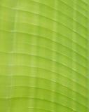 Den gröna bananen lämnar bakgrundsabstrakt begrepp Arkivbild