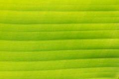 Den gröna bananen lämnar för bakgrund arkivbilder