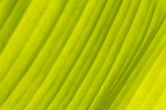 Den gröna bananen lämnar för bakgrund arkivfoton