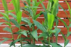 Den gröna bladingefäran rotar har en brun staketbakgrund Arkivbilder