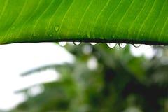 Den gröna bladmakroen, gröna nya växter stänger sig upp för bakgrund Fotografering för Bildbyråer