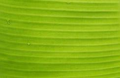 Den gröna bladmakroen, gröna nya växter stänger sig upp för bakgrund Arkivfoto