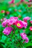 Den gröna busken av löst steg Royaltyfria Bilder