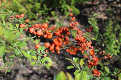 Den gröna busken blomstrade på våren med orange blommor Royaltyfria Foton