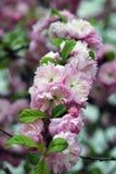 Den gröna busken som blommar med liten rosa dekicate, blommar Fotografering för Bildbyråer