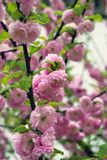 Den gröna busken som blommar med liten rosa dekicate, blommar Royaltyfria Foton