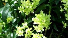 Den gröna dendrobiumen eller gräsplanorkidén blommar under skugga av ljus och skugga arkivfilmer