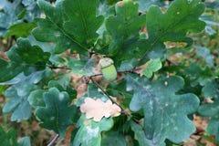 Den gröna ekollonen växer på en ekfilial Arkivbild