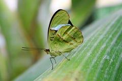 Den gröna fjärilen Arkivfoto