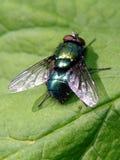 Den gröna flugan sitter på ett grönt blad Royaltyfri Fotografi