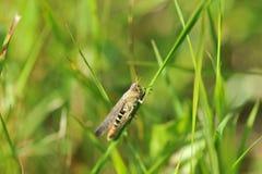 Den gröna gräshoppan sitter på ett blad Arkivfoton