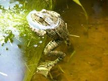 Den gröna grodan Den amfibiska grodan är vanlig Royaltyfri Bild