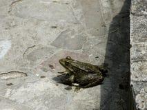 Den gröna grodan Den amfibiska grodan är vanlig Royaltyfri Fotografi