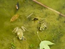 Den gröna grodan Den amfibiska grodan är vanlig Fotografering för Bildbyråer
