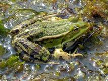 Den gröna grodan sitter i vatten Fotografering för Bildbyråer