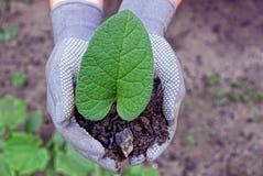 Den gröna grodden med ett stort blad på gömma i handflatan av jordningen Royaltyfria Foton