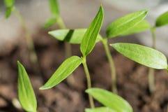 Den gröna grodden som växer från, kärnar ur Arkivbild
