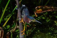 Den gröna hägret (Butorides virescens) sätta sig på trädstammen Arkivfoto
