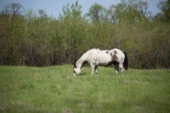 den gröna hästen betar Royaltyfri Fotografi