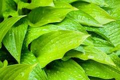Den gröna hostaen lämnar closeupen Arkivfoton