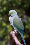 Den gröna indier ringer hånglar papegojan Royaltyfria Bilder