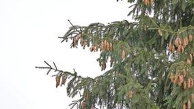 Den gröna julgranen med sörjer kottefilialen som svänger i vinden lager videofilmer