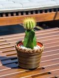 Den gröna kaktuns i virvlat krukaanseende på tabellen arkivfoto