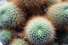 Den gröna kaktuns med små visare i fokusen fotografering för bildbyråer