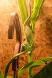 Den gröna kameleonten fryste på en öppen mun för downwith för bambufilial gående arkivbilder