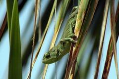 Den gröna kameleonten gömma i handflatan på leafen Royaltyfria Foton