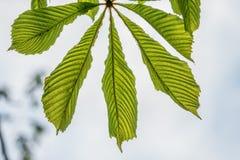 Den gröna kastanjen lämnar lögn som en fan på en vit bakgrund royaltyfria foton