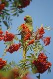 Den gröna krageparakiter äter orange bär från en tre för rönnbär royaltyfri foto