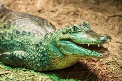 Den gröna krokodilen, öppnar käkecloseupen Arkivfoto