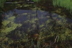 den gröna laken planterar damm Arkivbild